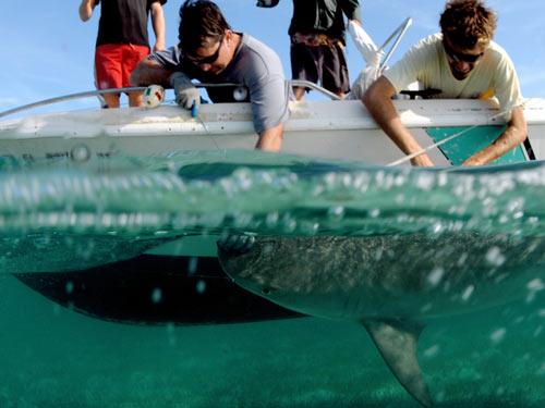 bimini shark encounter 2007 tagging a tiger shark